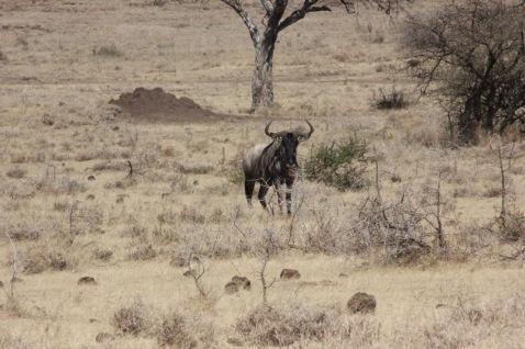 A Wildebeest