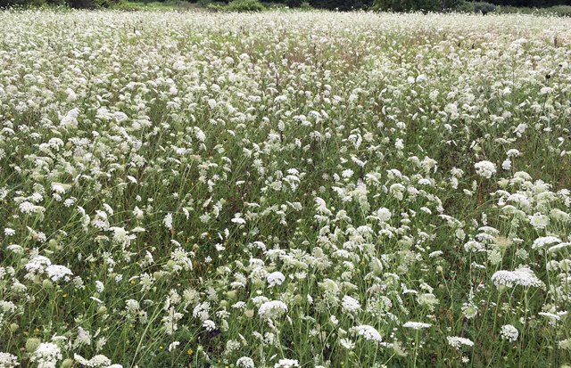 Field of Wild Carrot - Queen Anne's Lace